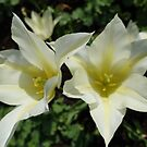 Two pretty white tulip flowers. by naturematters