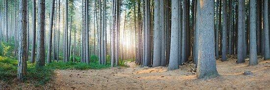 Sugar Pines, Laurel Hill, New South Wales, Australia by Michael Boniwell