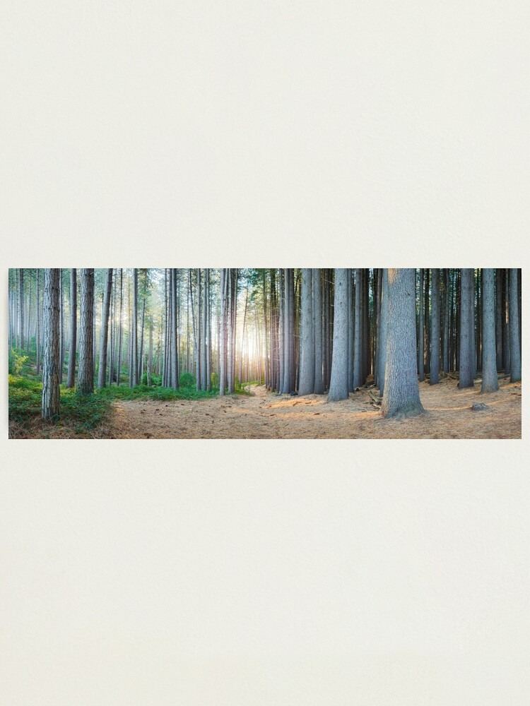 Alternate view of Sugar Pines, Laurel Hill, New South Wales, Australia Photographic Print