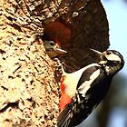 Great Spotted Woodpecker and Baby by CBoyle