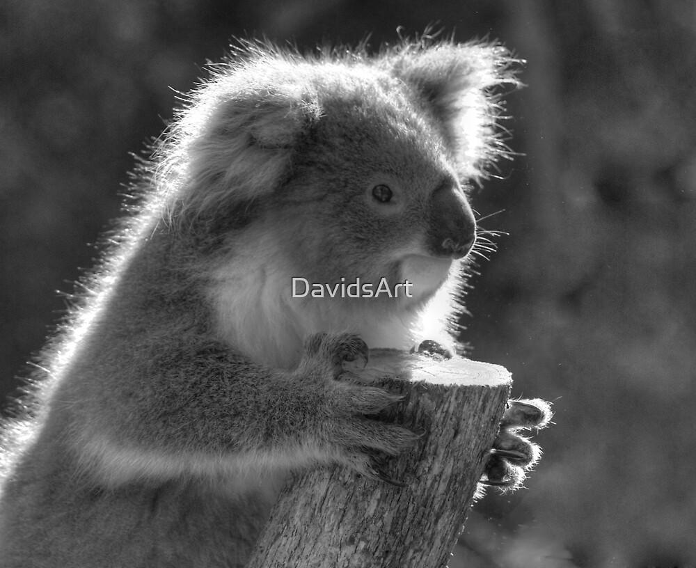 0707 Young Koala  by DavidsArt