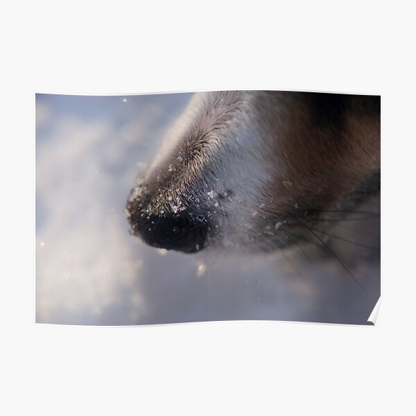Snow crystals on curious dog nose. Poster