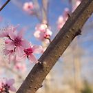 Peach Blossoms in Tennessee by Britney Beaty