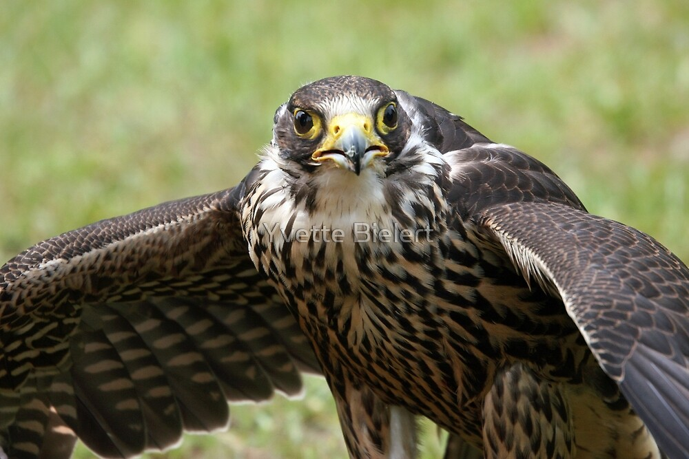 Hawk Eyes by Yvette Bielert