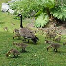 Canada geese and their babies in spring time. by naturematters