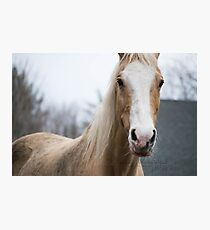 Palomino Saddlebred Gelding Photographic Print