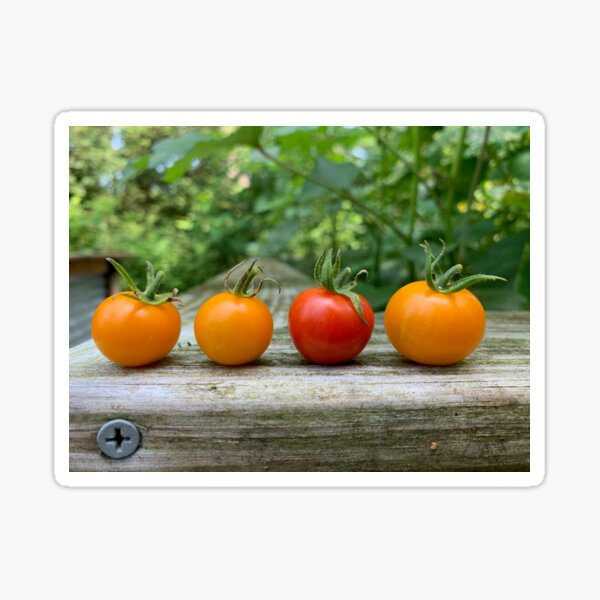 Yellow and Red Tomatoes Sticker