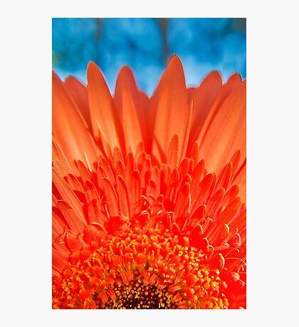 Orange Gerbera in the garden Photographic Print