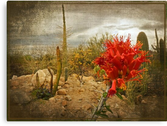 The Bloom of the Octillo by Lucinda Walter