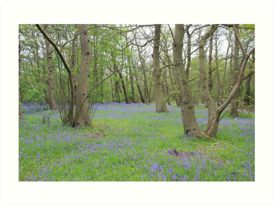 Bluebell Heaven by Vicki Spindler (VHS Photography)