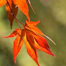 Japanese Maple Leaves  by M S Photography/Art