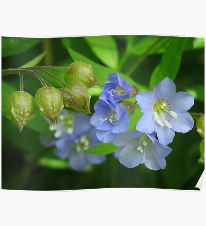 Jacob's Ladder Wildflowers  Poster