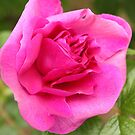 Lovely aromatic pink rose flower picture. by naturematters