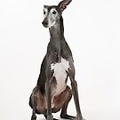 Gilbert the Galgo by homesick
