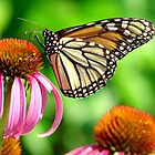 splendid orange and white spotted butterfly on purple flower by BBrightman