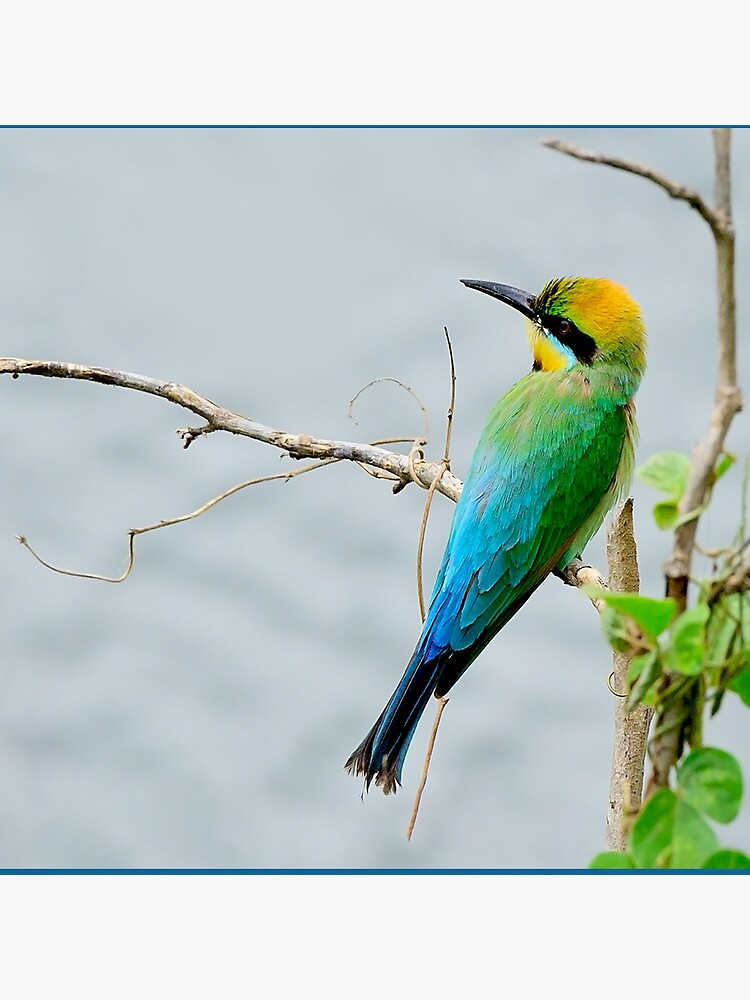 Rainbow Bee-eater 'Patiently Waiting' by Gailsphotoart