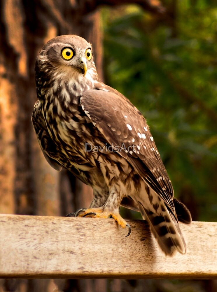 0053 Barking Owl by DavidsArt