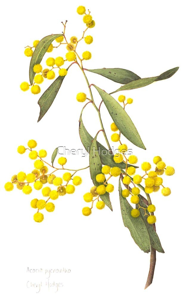 """Acacia pycnantha - Golden Wattle"" by Cheryl Hodges ..."