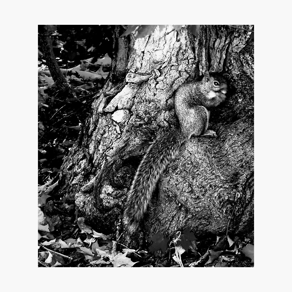 squirrel and the tree king Photographic Print