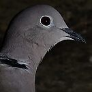 Collared Dove by snapdecisions