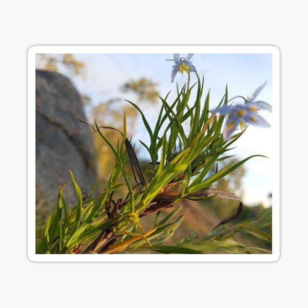 Blue spring flower in Western Australia Sticker