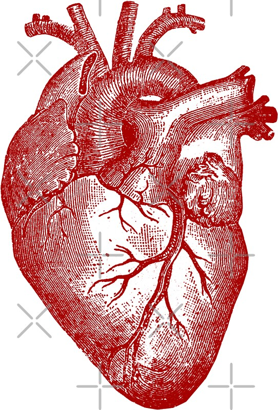 Vintage Heart Anatomy Stickers By Stilleskygger Redbubble