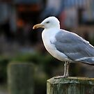 Herring Gull - Watching the Fishing Boats by T.J. Martin