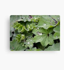 Captured Dew on Lady's Mantle Canvas Print