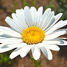Daisy, Daisy by Scott Mitchell