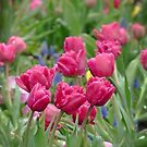 Tulips by Lucinda Walter