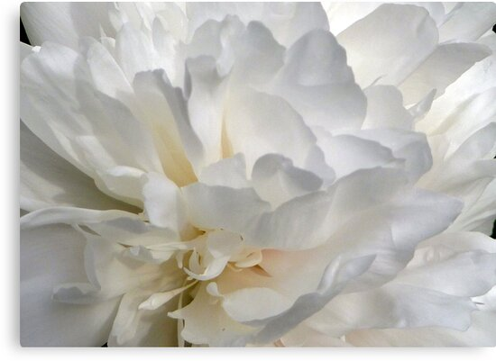 White Beauty by Lucinda Walter