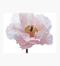Pink Tree Peony Flower Photographic Print