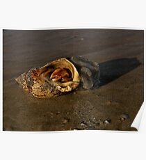 Hermit Crab on Fahan Beach Poster