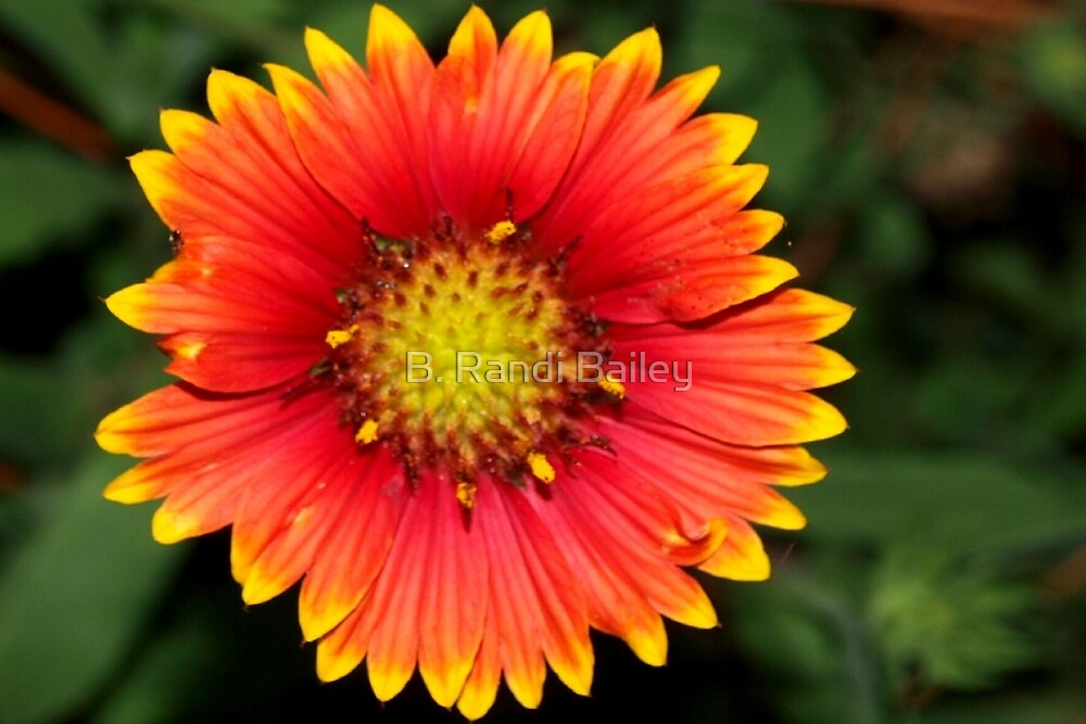 Blanket flower against green by ♥⊱ B. Randi Bailey
