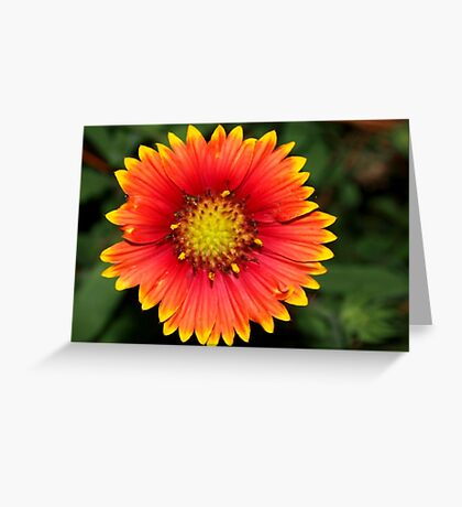Blanket flower against green Greeting Card