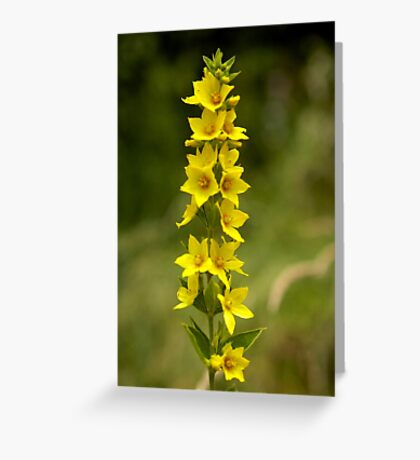 Dotted Yellow Loostrife, Muckross Head, Donegal Greeting Card