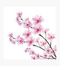 Sakura Cherry Blossom Photographic Print