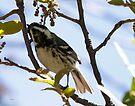 Black-throated Gray Warbler by Dennis Cheeseman