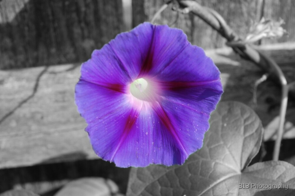 Morning Glory by 313 Photography
