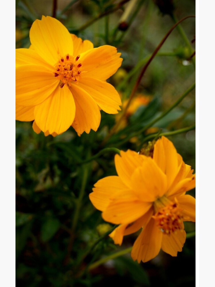 Golden Coreopsis from A Gardener's Notebook by douglasewelch