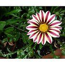 Daisy flower by joycee