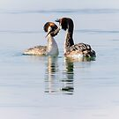 That coy look you give me! Crested Grebes, Lago Trasimeno, Umbria, Italy by Andrew Jones