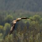 Red Kite flight by M S Photography/Art