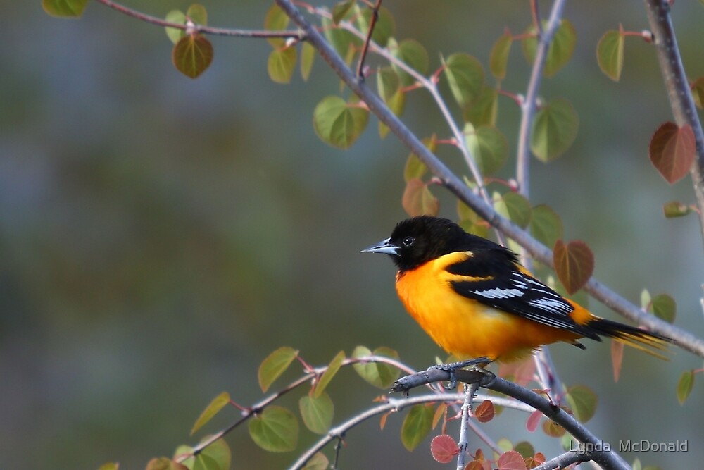 Baltimore Oriole - Male,  Must Be Spring by Lynda   McDonald