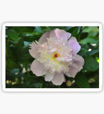 Garden Peony - Paeonia lactiflora Sticker