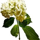 Single White Hydrangea by Susan Savad