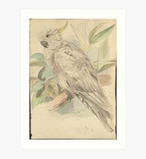 Sulphur-crested cockatoo -- graphite and watercolor drawing Art Print
