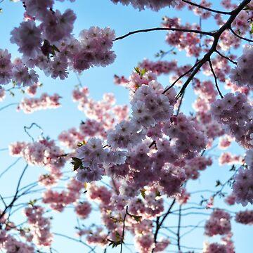 Sakura by herbertshin
