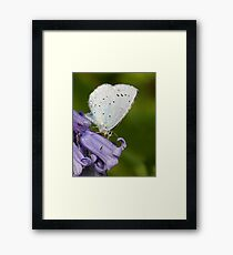 Holly Blue Framed Print