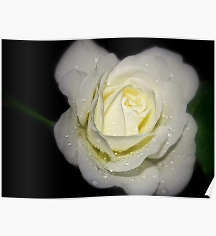 drops on a white rose at night Poster